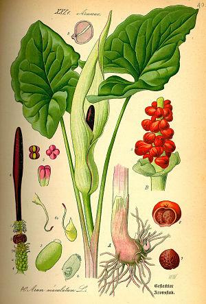 illustrazione Arum Triphyllum