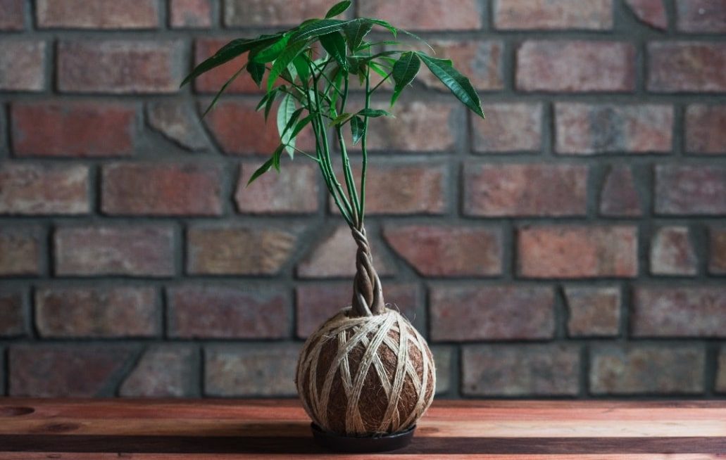 bonsai Kokedama
